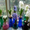 forced hyacinths in bloom just before Christmas 2011